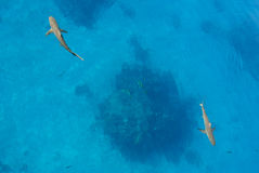 Two sharks aerial view. Aerial view of two sharks swimming just below the surface of clear blue water, with coral head below Royalty Free Stock Photography