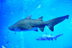 Two sharks in aquarium Royalty Free Stock Photography