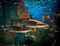 Two sharks in aquarium. Two white sharks in Istanbul aquarium Royalty Free Stock Image
