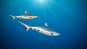 Two sharks floating in deep water Royalty Free Stock Image