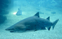 Two sharks looking for food Stock Images