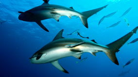Two sharks swimming same Royalty Free Stock Image