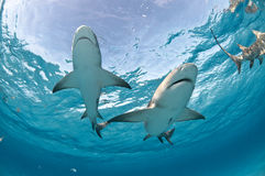 Two sharks swimming together Stock Images