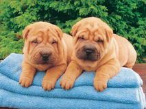 Two sharpei puppies Royalty Free Stock Photos