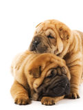 Two sharpei puppies Stock Image