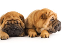 Two sharpei puppies Royalty Free Stock Photography