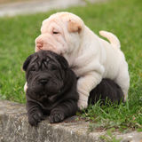 Two sharpei puppies lying together Royalty Free Stock Image