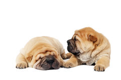 Two sharpei puppy dogs Royalty Free Stock Photo