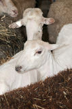 Two Sheared Sheep Amongst Unsheared Sheep Royalty Free Stock Photography