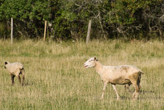 Two Sheep. Standing in a grassy field outside Stock Image
