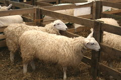 Two Sheep Stock Photo