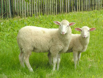 Free Two Sheep Royalty Free Stock Image - 156376