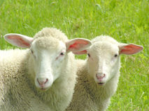 Two sheep. Close-up of two sheep Stock Photography
