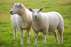 Two sheep. In green meadow stock image