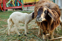 Two Sheep. Thailand sheep farm for travel Royalty Free Stock Photos