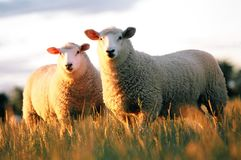 Two Sheep. Texil sheep standing in grass at sun set Royalty Free Stock Photo