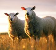Two Sheep. Two Texil sheep in long grass at sun set Stock Photography