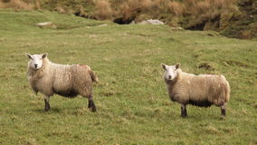 Two sheep. Standing on a meadow and staring royalty free stock image
