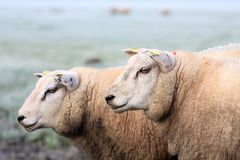 Two sheep Royalty Free Stock Photos