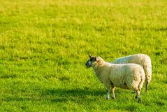 Two Sheep Stock Image