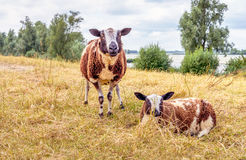 Two sheep at the base of a dike near a river Stock Images