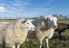 Two sheep. Behind a fence Stock Photography