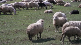 Two Sheep Butting Heads in the Field stock video footage
