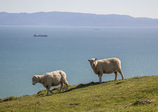 Two sheep Cable bay walkaway, Nelson, New Zealand Stock Photo