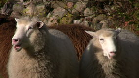 Two sheep chewing stock video footage