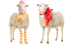 Two Sheep in Christmas clothes Stock Photo