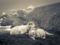 Two Sheep on Cliffs Black and White. Two sheep resting on grass above cliffs in Hermaness Nature Reserve in Shetland Royalty Free Stock Image