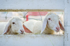Two sheep Stock Photos