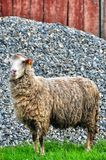 Two sheep Royalty Free Stock Photography