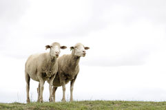 Two sheep with copyspace. Above them Royalty Free Stock Photography
