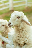 Two sheep in corral Stock Photos