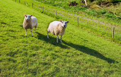 Two sheep curiously looking on the slope of dike Royalty Free Stock Image