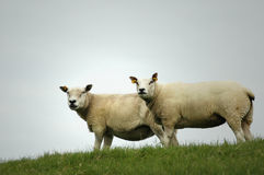 Two Sheep on a Dike Royalty Free Stock Photography