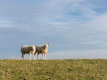 Two sheep on dike, Holland Royalty Free Stock Image