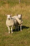 Two Sheep on a stock image