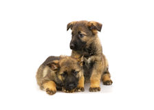 Two sheep-dog puppies Royalty Free Stock Images