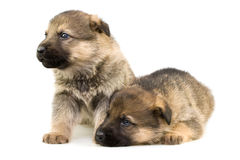 Two Sheep-dogs Puppys Stock Images