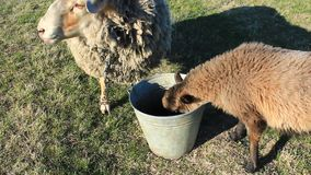 Two sheep drinking water from the bucket on pasture stock video