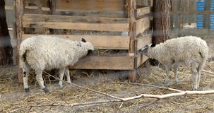 Two sheep eat hay. Farm in the open air. Agriculture. 4K stock footage