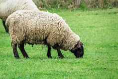 Two sheep eating green grass at spring time stock image