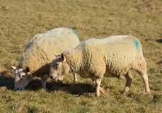 Two sheep in a farm field Stock Photo