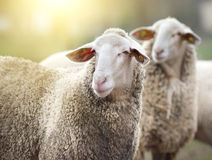 Two sheep on farm Stock Photography