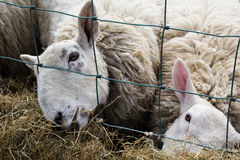 Sheep Feeding. Two sheep feeding on hay through a fence Royalty Free Stock Photos