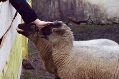 Two sheep is feeding and stroked by hand Royalty Free Stock Images
