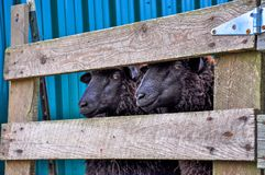 Two sheep fenced next to a blue barn in the countryside Stock Images