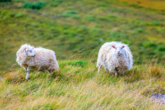 Two sheep Royalty Free Stock Image